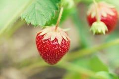 Belles fraises rouges élevant le champ Vue de macro de baie de jardin profondeur de champ, foyer sélectif mou Photo libre de droits
