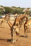 Belles girafes en parc Photographie stock libre de droits