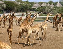 Belles girafes en parc Photos libres de droits