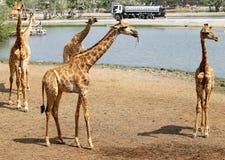 Belles girafes en parc Images libres de droits