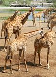 Belles girafes en parc Photos stock