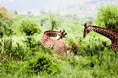 Belles giraffes en Afrique parmi les arbres. Images libres de droits
