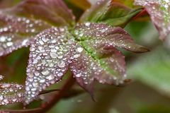 Belles gouttes de pluie sur les feuilles d'une pivoine d'arbre images libres de droits