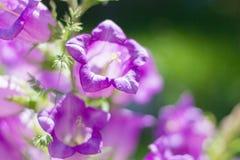 Belles grandes cloches pourpres sur le fond vert dans le jardin photographie stock