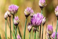 Belles grandes fleurs pourpres de ciboulette Horticulture pourpre de ciboulette dans le jardin d'herbes aromatiques Image libre de droits