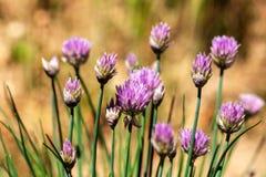 Belles grandes fleurs pourpres de ciboulette Horticulture pourpre de ciboulette dans le jardin d'herbes aromatiques Image stock