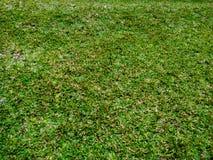 Belles herbes vertes luxuriantes de carabao, fond vert, fond de nature, textures en nature photographie stock