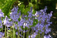 Belles jacinthes des bois Images stock