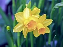 Belles jonquilles de floraison image stock