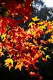 Belles lames d'automne colorées Images libres de droits