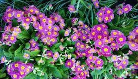 Belles, lumineuses fleurs de primevère Photos libres de droits