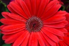 Belles marguerites rouges lumineuses de marguerite de Gerbera en pleine floraison Image libre de droits