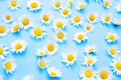 Belles marguerites sur un fond bleu Photographie stock