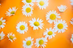Belles marguerites sur un fond orange Image stock