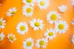 Belles marguerites sur un fond orange Image stock