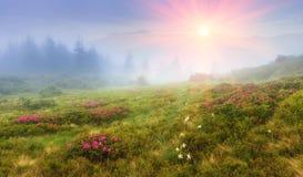 Belles montagnes de lever de soleil au printemps Vue des collines, couverte de rododendrons frais de fleur photographie stock