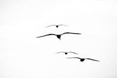Belles mouettes montant dans le ciel Image stock