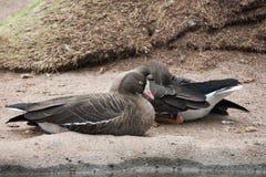 Belles oies en parc Photo libre de droits