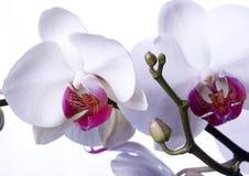 BELLES ORCHIDÉES Photographie stock libre de droits