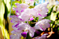 Belles orchidées de coelestis de Rhynchostylis dans la ferme photographie stock
