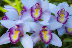 Belles orchidées de Vanda Photo stock