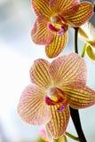 Belles orchidées jaunes Photos libres de droits