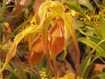 Belles orchidées jaunes Photos stock