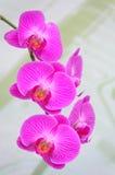Belles orchidées roses Photo libre de droits