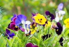 Belles pensées étroites dans le jardin Juste plu en fonction Photographie stock