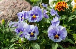 Belles pensées étroites dans le jardin Juste plu en fonction Photographie stock libre de droits