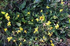 Belles petites fleurs et herbes jaunes sensibles de pré images stock