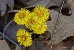 Belles petites fleurs jaunes dans des feuilles sèches Photo libre de droits
