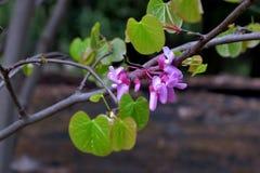 Belles petites fleurs roses sur les branches minces étroitement  image stock