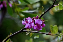 Belles petites fleurs roses sur les branches minces étroitement  photographie stock libre de droits