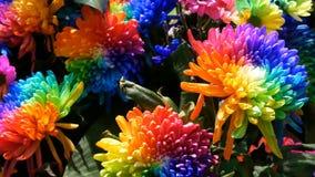 Belles pivoines multicolores int?ressantes peu communes d'arc-en-ciel, marguerites, roses S?lection des fleurs, couleur peu commu clips vidéos