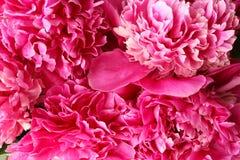 Belles pivoines roses Photos libres de droits