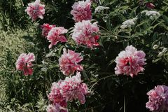 Belles pivoines roses de Bush sur un fond d'herbe verte Fleurs roses et blanches dans le jardin Pivoines s'élevant dans l'herbe photo stock