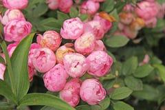 Belles pivoines roses et feuilles vertes Beau fond photographie stock libre de droits
