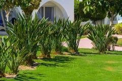Belles plantations tropicales à feuilles persistantes en Egypte Dans la catégorie du fond créatif des vacances d'été exotiques photo stock