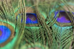 Belles plumes de paon Fermez-vous vers le haut du fond vert et bleu de tache floue Macro modèle defocused Images stock