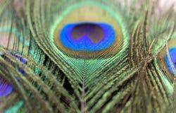 Belles plumes de paon Fermez-vous vers le haut du fond vert et bleu de tache floue Macro modèle defocused Photographie stock libre de droits