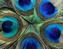 Belles plumes de paon Fermez-vous vers le haut du fond vert et bleu de tache floue Macro modèle defocused Photo libre de droits