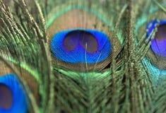 Belles plumes de paon Fermez-vous vers le haut du fond vert et bleu de tache floue Macro modèle defocused Photos stock