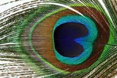Belles plumes de paon sur le fond blanc Photographie stock libre de droits