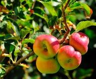 Belles pommes Photo libre de droits