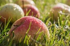 Belles pommes dans les baisses de la rosée sur l'herbe verte image stock