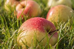 Belles pommes dans les baisses de la rosée sur l'herbe verte images stock