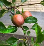 Belles pommes pendant le matin photos libres de droits