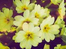 Belles premières fleurs de primevère dans le jardin photo libre de droits