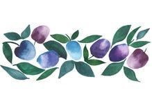 Belles prunes juteuses lumineuses pourpres et croquis bleu de main d'aquarelle Photo libre de droits